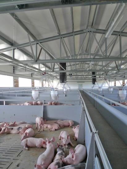 quintas de porcos