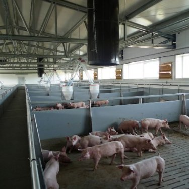 cusomt pig farms